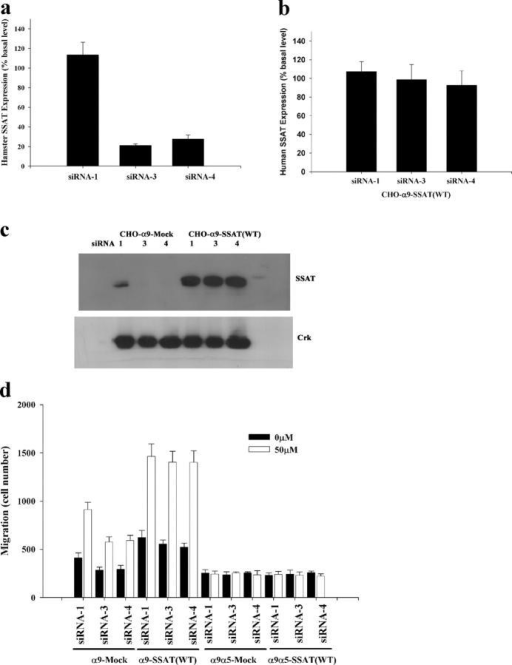 Rescue of siRNA knockdown of hamster SSAT by overexpression of human wild-type SSAT cDNA in CHO cells. (a and b) α9-expressing CHO cells stably expressing either empty vector or wild-type human SSAT (SSAT(WT)) were transfected with siRNA-1 (nonfunctional), siRNA-3, and siRNA-4 in 6-well plates. (a) 24 h later, hamster SSAT mRNA was assayed by quantitative PCR and expressed as percent basal level (normalized to siRNA-1). (b) Human SSAT mRNA was assayed by quantitative PCR and expressed as percent basal level (normalized to siRNA-1). (c) BE-3-3-3 was used to stabilize SSAT 24 h after transfection with nonfunctional siRNA (1) or two functional siRNAs (3 and 4) in CHO cells stably transfected with empty plasmid (CHO-α9-Mock) or wild-type human SSAT (CHO-α9-SSAT(WT)). SSAT protein was detected by Western blot. Western blot for Crk was used as a control for equal protein loading. (d) α9- or α9α5-expressing CHO cells with or without human SSAT expression were transfected with siRNA-1, siRNA-3, and siRNA-4; 24 h later, cells were suspended in serum-free medium and used for migration assays without BE-3-3-3 (0 μM) or with BE-3-3-3 (50 μM), as described in the Fig. 3 legend.