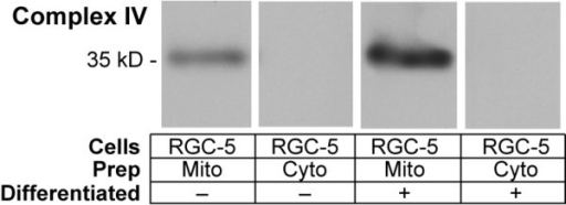 Immunoblotting Measurement of Cytochrome c Oxidase in Differentiated and Undifferentiated RGC-5 Mitochondria. RGC-5 cells were differentiated with staurosporine. Isolated mitochondrial samples from undifferentiated and differentiated mitochondria standardized for protein content were compared to corresponding mitochondria depleted samples for the presence of the mitochondrial transmembrane protein cytochrome c oxidase (COX), complex IV. Samples were immunoblotted with antibody to subunit 1 of complex IV. There was considerable purification of mitochondria compared to the mitochondria depleted samples for differentiated and undifferentiated RGC-5 cells. Differentiated RGC-5 cells had 2.5 times more cytochrome c oxidase than undifferentiated RGC-5 cells.