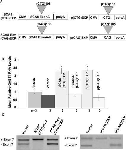 Endogenous GABT4 up-regulation in SK-N-SH cells induced by CUGexp but not CAGexp transcripts.(A) Schematic of constructs used to express SCA8 CUGexp or CAGexp and pure CUGexp and CAGexp transcripts. (B) qRT-PCR shows increased GABT4 RNA levels in SK-N-SH cells expressing Exon A CUGexp or pure polyCUGexp transcripts. * = statistical significance, p<0.0001. (C) Alternative splicing shifts favoring exon 7 inclusion in cells expressing SCA8 Exon A CUGexp or pure polyCUGexp that does not occur in response to SCA8 Exon A CAG or pure polyCAGexp transcripts compared to vector alone.