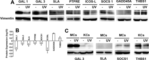 Western blot of selected proteins whose genes are differentially expressed in DCs.A, B. Human primary DCs were exposed to solar-simulated UV radiation as in Fig. 1, and cultured for a further 24 h before lysis and immunoblotting. Experiments were repeated at least three times. Specific protein bands were quantified by densitometry with respect to vimentin (loading control). A. Representative blots. B Results of densitometric analysis, presented as the ratio of expression in irradiated cells to that in non-irradiated cells. Data are the arithmetic means±SEM of three experiments. C. Human MCs and KCs were exposed to solar-simulated UV radiation and analyzed by western blot as in A. Data represents one of three experiments performed.