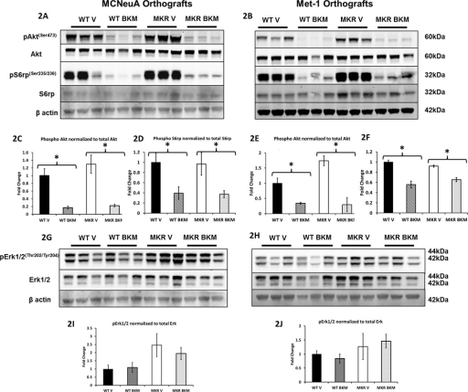 Treatment with NVP-BKM120 reduced serine phosphorylation of Akt and S6 ribosomal protein in MCNeuA and Met-1 tumors treated with NVP- BKM120. Protein extracts from MCNeuA and Met-1 tumors from WT and MKR mice were size fractionated and immunoblotted against phospho(Ser 473) and total Akt, phospho(Ser 235/236) and total S6 ribosomal protein, phospho(Thr202/Tyr204)and total Erk1/2 (2A, 2B, 2G, 2H). Representative western blot analyses are displayed for MCNeuA tumors (2A and 2G) and Met-1 tumors (2B and 2H). Figures 2C–2F, 2I, 2J display the densitometric analyses of phosphorylated Akt normalized to total Akt, phosphorylated S6rp normalized to total S6rp levels, and phosphorylated Erk1/2 normalized to total Erk1/2, for MCNeuA and Met-1 tumors. Data in 2C–2F, 2I, 2J are presented as a fold change in the mean (±SEM) of each group compared to the WT vehicle treated group. * P<0.05 between groups. Statistically significant increases in Akt phosphorylation normalized to total Akt in MCNeuA and Met-1 tumors rom the MKR V mice compared to the WT V mice (not marked with asterisk in Fig 2C and 2E). (WT = wild type, V = vehicle treated, BKM = NVP-BKM120 treated).