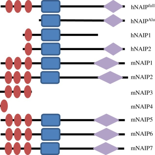 Predicted domain organization of NAIP proteins from different species. Red oval, BIR domain; blue rectangle, NACHT domain; lilac diamonds, LRR domain. Domain information derived from Ting et al. [57] and Romanish et al. [58].