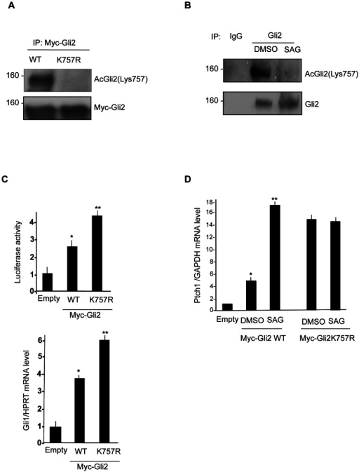 Removal of Gli2 acetylation enhances Hh-dependent transcription.(A) K757 acetylation of wild type Myc tagged Gli2 and K757R mutant in HEK293T cells. Cells extract were immunoprecipitated with anti-Myc antibody and acetylation was detected by anti acetyl-Gli2(Lys757) specific antisera. Western blot analysis with anti Myc antibody showed equivalent amounts of Myc-Gli2. (B) Acetylation of endogenous Gli2 in NIH3T3 cells, treated with SAG or DMSO for 24 hours. Acetylation was detected with anti acetyl-Gli2(Lys757) specific antisera. (C) (Top) Luciferase assay in NIH3T3 cells transfected with 8× Gli-Luc reporter, Myc tagged Gli2 wild type and K757R mutant. *p<0.01 vs Empty. Results are shown as the average ± SD of triplicate experiments (n = 3). (Bottom) Gli1 mRNA levels normalized with the housekeeping HPRT mRNA in NIH3T3 cells transfected with Myc-Gli2 WT and K757R mutant. (D) Transcriptional activity of Myc-Gli2 WT and K757R mutant in response to SAG treatment: Ptch1 mRNA levels (QPCR), normalized with the housekeeping GAPDH mRNA in 24 hours SAG-treated NIH3T3 cells, transfected with Empty vector, Myc tagged Gli2 wild type and K757R mutant. *p<0.01 vs Empty, **p<0.05 vs DMSO; Results are shown as the average ± SD of triplicate experiments (n = 3).