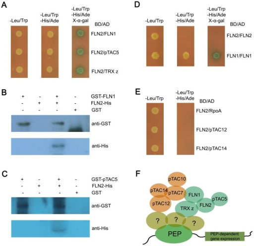 The relationships between FLN2 and other components of TAC.(A) Interactions of FLN2 with FLN1, pTAC5 and TRX z proteins in yeast. (B) GST pull-down assay revealed the existence of a physical interaction between FLN2 and its homologous protein FLN1. (C) In vitro GST pull-down assay for interaction between FLN2 and pTAC5. (D) FLN1 can interact with itself in yeast, while FLN2 can not. (E) Non-interaction existed between FLN2 and three essential subunits of TAC complex including RpoA, pTAC12 and pTAC14. (F) The primary working model for TRX z, FLN1, FLN2, pTAC5, pTAC7, pTAC10, pTAC12 and pTAC14.