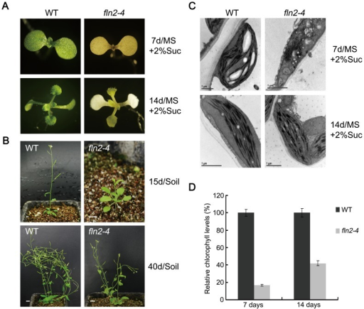 Alterations to seedling development in fln2–4 plants.(A) The phenotypes of WT and fln2–4 plant grown on 2% sucrose-containing MS medium for 7 days and 14 days. (B) The phenotypes of WT and fln2–4 plants grown in soil after growing on sucrose-containing medium for 14 days. Bars represent 1 cm. (C) Chloroplast ultrastructure in 7-day-old WT, 7-day-old fln2–4 plants, 14-day-old WT and 14-day-old fln2–4 plants. All of these plants grew on sucrose-containing medium. Scale bars: 1 µm. (D) The relative chlorophyll levels in WT and fln2–4 seedling during growth on sucrose-containing MS medium. The values presented are averages of three replicates ± SD.