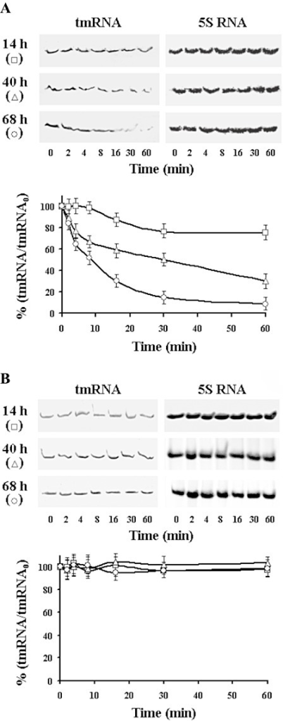 Northern blot analysis of the tmRNA stability from 14 h, 40 h and 68 h cultures of S. griseus (A) and S. collinus (B). Representative blot analyses of the tmRNA abundance. Transcription was inhibited by addition of rifampicin (300 µg ml−1) and aliquots were taken at the indicated times for RNA extraction and Northern analysis. Quantification of the tmRNA was performed as described in Fig. 1, and initial values at time 0 (tmRNA0), before addition or rifampicin, represent 100% separately for each time curve and strain used.