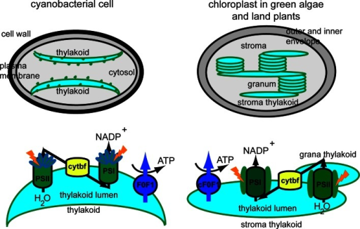 Thylakoid membrane organization and composition in cyanobacteria and plants. Cyanobacterial thylakoid membranes are located directly in the cytosol, are arranged in layers, make contact with the plasma membrane, and have attached phycobilisomes. Thylakoid membranes in green algae and land plants are located inside the chloroplast, are organized in grana stacks interconnected by stroma-exposed lamellae and contain chlorophyll-protein complexes for harvesting light. Four photosynthetic complexes are present in the thylakoid membrane, namely photosystem II (PSII), cytochrome b6f (cytbf), photosystem I (PSI) and H+-translocating ATP synthase (F0F1, cF0F1). These complexes are uniformly distributed in cyanobacteria, whereas in green algae and land plants they display a lateral distribution