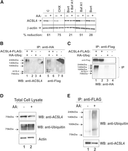 Proteasomal pathway participates in AA-induced degradation of ACSL4 protein. A: HepG2 cells were treated with 5 μg/ml CHX, 200 nM bortezomib (Bort), 50 nM bafilomycin A1 (Baf A1), or the combination of Bort and Baf A1 for 1 h prior to the addition of 150 μM AA. Cell lysates were isolated after 24 h of AA treatment. After Western blotting, for each sample, the signal of ACSL4 was normalized to signal of β-actin. The normalized ACSL4 signal without AA treatment was expressed as 100%. The data are representative of two separate experiments with similar results. The indicated value is for the blot shown. C, control. B, C: Plasmids encoding Flag-tagged ACSL4 and HA-Ubq were cotransfected into HEK293 cells. The empty vectors of pCMV-Entry and pCMV-HA were transfected as mock control. Two days post transfection, cells were treated with 20 μM MG132 to block proteasomal degradation for 6 h prior to cell lysis. Cell lysates were immunoprecipitated with anti-HA or anti-Flag antibodies, respectively. D, E: HEK293A cells were cotransfected with ACSL4-FLAG and HA-Ubq plasmids for 48 h. Then, cells were divided equally into two plates. After overnight culturing, cells were treated with 150 μM AA or vehicle for 8 h in the presence of MG132 before isolation of total cell lysates. Proteins (300 μg) from each lysate sample were subjected to IP with anti-FLAG. Total lysates were analyzed for ACSL4 and ubiquitinated proteins by immunoblotting using anti-ACSL4 and anti-Ubq antibody (D). IP complexes were analyzed for total ACSL4 with anti-ACSL4 antibody and ubiquitinated ACSL4 by anti-Ubq antibody (E). WB, Western blot.
