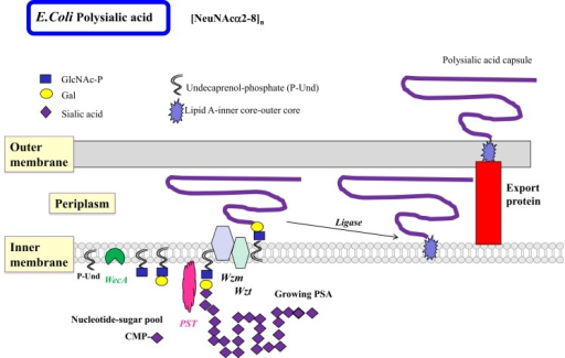 Biosynthesis of polysialic acids in E. coli using the ABC transporter pathway. The biosynthesis of homopolymeric O antigens (or capsules) is initiated at the cytosolic side of the inner membrane. Polysialic acids (PSA) of E. coli are proposed to be assembled in a processive fashion as shown, based on undecaprenol-phosphate. Membrane-associated polysialyltransferase (PST) transfers many units of sialic acid from CMP-sialic acid to the growing polysialic acid. The enzyme can act on a number of acceptor substrates to form repeated sialylα2–8 linkages. A termination reaction stops the growth of the long PSA chain. The PSA is then transported to the periplasmic space by the Wzm exporter, which is associated with the ATP-binding Wzt. Further processing occurs in the periplasm. The completed PSA is ligated to the core-lipid A and then translocated by export proteins to the outer membrane to serve as a highly charged and hydrophilic protective coat. Other homopolymeric O antigens such as poly-d-Mannose or poly-d-Rhamnose are processed in a similar fashion by the ABC transporter pathway.