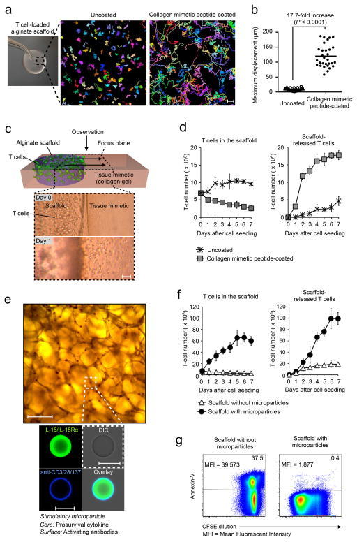 Porous polysaccharide scaffolds functionalized with appropriate adhesion molecules and stimulatory cues support rapid migration, robust expansion, and sustained release of T cells. (a) Time-lapse video projections of lymphocyte migration through uncoated (left) and collagen mimetic peptide (CMP)-coated (right) macroporous alginate scaffolds tracked for 30 min; each color represents an individual T cell. Scale bar: 50 μm. (b) Comparison of maximum T cell displacements, based on 30 randomly chosen cells from two independent experiments. (c–d) CMP coating promotes the egress of T cells into surrounding tissue: (c) Schematic and corresponding micrographs of the in vitro assay used to quantify cell migration out of the scaffold (purple) into a tissue mimetic (three-dimensional fibrillar collagen gel; pink). Scale bar: 100 μm. (d) Quantification of viable (trypan blue-excluding) T cells enzymatically recovered from scaffolds versus collagen matrices at indicated time points. (e–g) Incorporating stimulatory microspheres into matrices amplifies T cell expansion and release: (e) Microscopy of scaffolds containing embedded particles. Scale bar: 150 μm. The high magnification confocal images in the lower panel show a single lipid-enveloped mesoporous silica microsphere with IL-15/IL15Rα cytokine (Alexa 488-labeled: green) entrapped in the polymer core and stimulatory anti-CD3/CD28/CD137 antibodies (Alexa 647-labeled: blue) tethered to its phospholipid membrane. Scale bar: 15 μm. (f) Absolute counts of viable T cells in scaffolds fabricated with or without stimulatory microparticles (left panel), and of cells transited from these implants into surrounding collagen matrix (right panel). (g) Representative carboxyfluorescein succinimidyl ester (CFSE) assay of T cells that have exited scaffolds during the 7d test period, in which proliferation was assessed by measuring CFSE dilution (consequent to cell division) using flow cytometry. Mean CFSE fluorescence intensities (MFI) for the lymphocyte populations are indicated at the upper left. Differences in apoptosis were quantified by Annexin V labeling. Data are representative of three independent experiments.