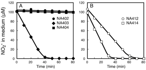 Uptake of nitrite from medium by cells of the NA4 derivatives expressing the NitM proteins and their derivatives from α-cyanobacteria. Changes in the concentration of nitrite in the medium after addition of nitrite to cell suspensions containing 5 μg of Chl/mL are shown. (A) NA402 (closed circles), NA403 (closed diamonds), and NA404 (closed squares) cells; (B) NA412 (open circles) and NA414 (open squares) cells. Cells grown in the presence of 1 mM isopropyl-β-d-thiogalactopyranoside were used for the measurements.