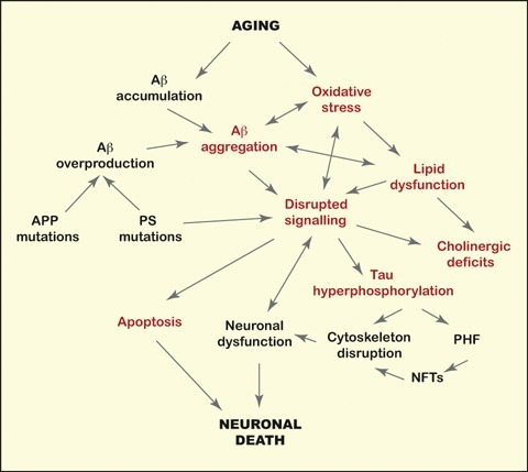 The Alzheimer's disease (AD) puzzle. The molecular mechanisms leading to AD have been shown to include dysfunctions in several biological processes, including oxidative stress, inflammatory responses and altered signal transduction. Aging is the major risk factor AD. Few mutations in the amy-loid precursor protein (APP) or the presenilin genes (PS) cause AD by increasing the production of Aβ. The apoE genotype is the most important genetic factor for AD. The presence of apoE4 has been associated with sever-al aspects (indicated in red) of the AD pathological cascade.