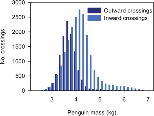 A histogram of penguin weights calculated from weighbridge crossing data for 2011–2012.A summary of the data from the 2011–2012 breeding season is shown. The weighbridge recorded 71429 files. Data are shown for 31997 crossings in total with the penguin weight calculated from at least 1.5 s on the bridge—11141 outward crossings and 20856 inward crossings.