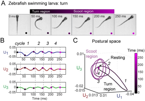 "Representation of free swimming zebrafish in low-dimensional postural space.(A) Still images of a representative turning bout during free swimming. As discussed in the text, it is convenient to divide the bout into a ""turn"" region (t = 50–100 ms) followed by a ""scoot"" region (100–250 ms). (B) Plot of the amplitudes U1(t), U2(t), and U3(t) of the three collective eigenshapes corresponding to the movie in A. Each amplitude undergoes multiple oscillation cycles before returning to zero. The regions marked by dashed lines and labeled as cycles (1–4) in U1(t), U2(t), and U3(t) are obtained from the oscillation cycles in U1(t). The colored dots mark time points corresponding to the still images in A. (C) Representation of a turn bout in postural space. The three-dimensional coordinates of the trajectory are the amplitudes U1(t), U2(t), and U3(t) in B. In this space, the bout involves a turn region (t = 50–100 ms), represented as a bent ellipse (cycle 1), followed by a scoot region (t = 100–250 ms) represented as multiple cycles (2–4) along the flat ellipses, and a final return to the rest behavior. Throughout, time (0–250 ms) is represented by the black—magenta colormap. An analysis of a representative scooting bout is shown in S5 Fig."