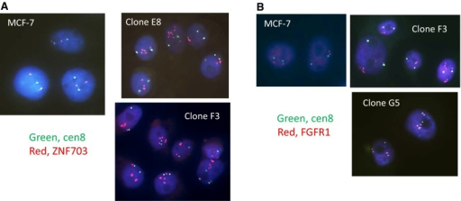 FISH on parental MCF-7 cells and amplified ZNF703-targeted subclones E8, F3, and G5. Nuclei are stained with DAPI. The green probe is to chromosome 8 centromeric sequences. a The red probe is a BAC in the ZNF703 region on 8p11-12. b The red probe is a BAC in the FGFR1 region