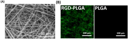 (A) Representative SEM image of RGD-PLGA nanofiber sheets; (B) representative immunofluorescence images of the pure PLGA and RGD-PLGA nanofiber sheets. RGD-M13 phages in the RGD-PLGA nanofiber sheets were immunostained with the fluorescein isothiocyanate (FITC)-labelled anti-M13 phage antibody (green). All images shown in this figure are representative of six independent experiments with similar results.