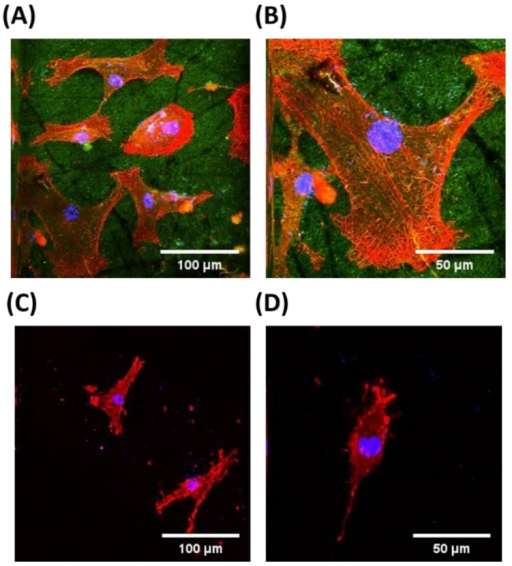 Two-photon excitation fluorescence images of HASMCs on the pure PLGA and RGD-PLGA nanofiber sheets. F-actins of HASMC cytoskeletons were stained with tetramethylrhodamine isothiocyanate (TRITC)-labelled phalloidin (red); cell nuclei were counter stained with 4',6-diamidino-2-phenylindole (DAPI, blue); and RGD-M13 phages in the RGD-PLGA nanofiber sheets were immunostained with the FITC-labelled anti-M13 phage antibody (green). All images shown in this figure are representative of six independent experiments with similar results. (A) Low-magnification and (B) higher-magnification images of HASMCs on the RGD-PLGA nanofiber sheets; (C) low-magnification and (D) higher-magnification images of HASMCs on the pure PLGA nanofiber sheets.