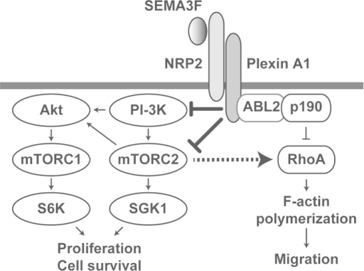 Schematic cartoon showing regulatory signaling pathways mediated by SEMA3F-NRP2/Plexin A1 interactions.SEMA3F binds to the NRP2-Plexin A1 complex and associates with PTEN to inactivate PI-3K and mTORC2/Akt-dependent signaling. Receptor-mediated signals may also inactivate mTORC2/Akt signaling via PTEN-independent mechanisms in tumor cell lines. Functionally, these regulatory/pro-resolution signals suppress cell proliferation, migration, cytoskeletal stress fiber rearrangement and cell survival. Our previous findings demonstrate that SEMA3F also inhibits cytoskeleton structure in part by inactivating RhoA through both the ABL2 kinase and p190RhoGAP6; the current studies show that the inactivation of RhoA and cytoskeletal stress fiber rearrangement is also mediated via the inhibition of mTORC2.