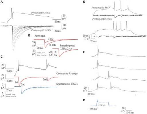 Dual whole-cell recordings and firing characteristics of synaptically connected MSNs. The MSNs recordings were carried out at 14 DIV. (A) Single sweep inhibitory postsynaptic currents (IPSCs; lower traces; Vm = −70 mV) elicited by single spikes in the presynaptic MSN (upper trace). (B) Average IPSCs elicited by single spikes at 0.3 Hz, or 2 Hz (red), with standard deviation time course (SDTC, gray). The 0.3 Hz and 2 Hz average scaled and superimposed (lower traces; scale bar 8 pA for the 0.3 Hz). The similar time course of average and SDTC, and of averages obtained at different firing rates, indicates that all events included had a similar shape. (C) Average IPSCs elicited by two spike pairs. Average spontaneous IPSCs (sIPSCS, blue) with SDTC (gray) scaled and superimposed (5 pA scale bar; lower traces). (D) A near tonically firing MSN responding to sequential depolarizing current pulses, recorded at 14 DIV. Single sweeps of the responses of the simultaneously recorded postsynaptic MSN are shown below. (E) A MSN recorded at 16 DIV, displays more mature burst-firing behavior than the cell recorded at 14 DIV. Longer depolarizing current pulses elicit repetitive bursts (lower two records). (F) Response to 150 pA current injection in 7 DIV MSN.