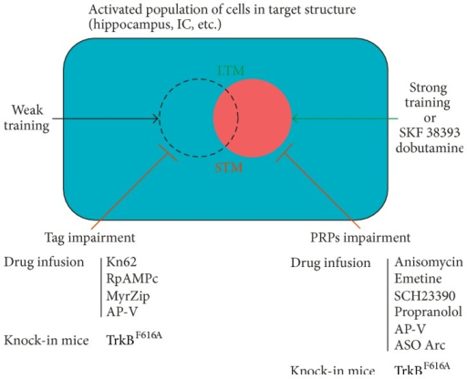 Strategies used to study the processes related to the setting of the learning tag and the PRPs synthesis in BT models. Weak training induces short- but not long-term memory and sets a leaning tag (dashed circle). The strong experience or different drugs (dopaminergic and adrenergic agonists) induces the synthesis of PRPs (red circle) that can be used to allow memory consolidation for a weak learning (green path). The local infusion of different inhibitory drugs (i.e., αCAMKII, PKA inhibitors, PKMζ blocker, or NMDA receptor antagonist) in brain structures close to the weak training can interfere with the proper setting and/or maintenance of the learning tag, impairing the promotion of LTM (red path). The local infusion of different drugs (i.e., protein synthesis inhibitors, antisense oligonucleotides, or D1/D5-dopaminergic, b-adrenergic, and NMDA receptors antagonists) in the target structure at the moment of PRPs synthesis also impaired the promotion of LTM (red path). Kinase activity requirement of TrkB receptor for both processes has been shown using Knock-in mice (see [43, 46, 54, 63, 64, 89]).