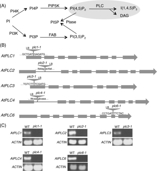 Phosphoinositide-specific phospholipase C (PI-PLC) in phosphoinositide metabolism.(A) Proposed phosphoinositide metabolic pathways in Arabidopsis. PI, phosphatidylinositol; PI3K, PI 3-kinase; PI4K, PI 4-kinase; PIP5K, PI4P 5-kinase; Ptase, phosphoinositide phosphatase; DAG, sn-1,2-diacylglycerol; FAB, formation of aploid and binucleate cells; I(1,4,5)P3, inositol 1,4,5-trisphosphate. (B) Schematic representations of AtPLC1 (At5g58670), AtPLC2 (At3g08510), AtPLC3 (At4g38530), AtPLC4 (At5g58700) and AtPLC6 (At2g40116). Gray boxes and lines represent exons and introns, respectively. The positions of T-DNA insertions of plc1-1, plc2-1, plc3-1, plc4-1, and plc6-1 are indicated by triangles. (C) RT-PCR analysis of gene transcripts for AtPLC1 (1.7 kb), AtPLC2 (1.8 kb), AtPLC3 (1.7 kb), AtPLC4 (1.8 kb), and AtPLC6 (1.9 kb) in the wild-type plants and the mutants. The Ws plants were used as the wild type for AtPLC2. Actin (0.5 kb) was used as a control.