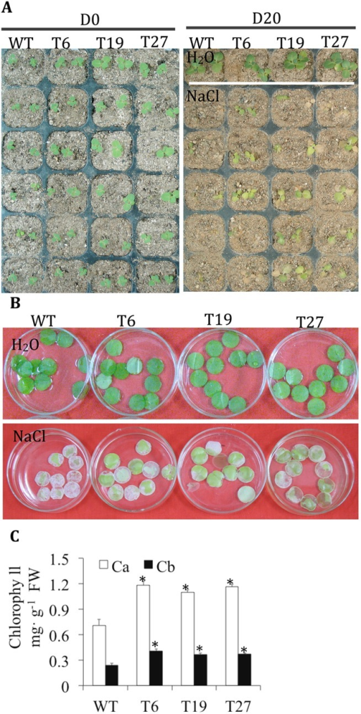 TaCRT1 segments in transgenic tobacco exhibited greater chlorophyll content.(A) Phenotypes of transgenic tobacco lines under irrigation with 250 mM NaCl every 2 d. (B) Response of leaf discs obtained from WT and transgenic tobacco lines floating on a 400 mM NaCl solution. (C) Chlorophyll content of leaf discs obtained from WT and transgenic tobacco lines. WT represents non-transgenic tobacco; T6, T19 and T27 represent transgenic tobacco lines. D0 represents no treatment, D20 represents NaCl treatment for 20 d; Ca: chlorophyll a; Cb: chlorophyll b. Error bars represent the standard deviation of results obtained for three replicate experiments; asterisks indicate significant differences from WT plants at P = 0.05.