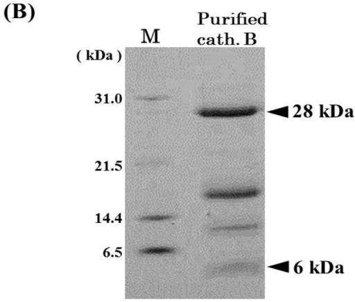 Mono S cation-exchange chromatography (A) and SDS-PAGE (B) patterns of cathepsin B from horse mackerel muscle. (A) The enzyme solution (1.37 mg protein) was applied to a column (1.7 mL), equilibrated with 50 mM acetate buffer (pH 4.5) containing 2 mM 2-mercaptoethanol, and eluted with a linear gradient of NaCl at the concentration of 0 to 0.5 M in the same buffer, and then eluted with a step wise of NaCl at the concentration of 0.5 to 1.0 M in the same buffer; (B) The purified cathepsin B fraction (18 µg protein) was applied to SDS-PAGE under reducing conditions on a 10% gel and stained by CBB. Arrowheads indicate protein bands of cathepsin B polypeptides. M, molecular weight protein standards were loaded. Protein standards was composed of carbonic anhydrase (M.W. 31,000), trypsin inhibitor (M.W. 21,500), lysozyme (M.W. 14,400), and aprotinin (M.W. 6500).