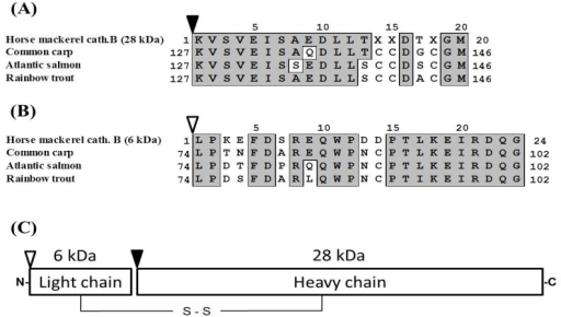 Alignment of N-terminal amino acid sequences of heavy (A) and light (B) chains of cathepsin B. (C) Schematic representation of predicted structure of horse mackerel cathepsin B. Black arrowhead indicates N-terminal of heavy chain of cathepsin B. White arrowhead indicates N-terminal of light chain of cathepsin B. Numbers indicate positions of each of the amino acid sequences. Identical residues with horse mackerel cathepsin B are boxed and shaded in gray. Cathepsin B from common carp (GenBank accession number: AB215097.1), Atlantic salmon (BT058506.1), and rainbow trout (NM001124304.1).