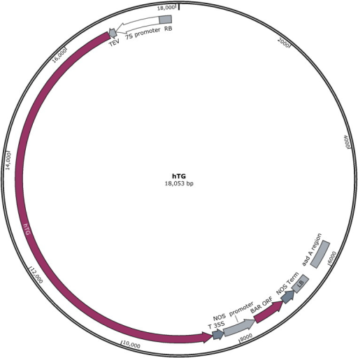 Plasmid map of hTG construct. The hTG plasmid map shows all regions included in the transformation plasmid utilized in the Agrobacterium transformation of the original ST77 event. The T-DNA construct contains the soybean β-conglycinin promoter (7S), tobacco etch virus translational enhancer element (TEV), human thyroglobulin gene (hTG), cauliflower mosaic virus terminator element (T35S) followed by the selectable marker cassette comprised of the nopaline synthase promoter (NOS promoter), phosphinothricin acetyltransferase gene (BAR ORF), and nopaline synthase terminator element (NOS Term). The aad A region of the vector confers antibiotic resistance to spectinomycin and streptomycin for selection of Agrobacterium.