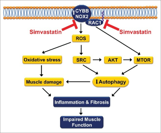 Simvastatin inhibits oxidative stress by CYBB/NOX2, which enhances autophagy and improves muscle health and function in muscular dystrophy. The loss of DMD/dystrophin results in the upregulation of CYBB/NOX2. ROS produced by CYBB/NOX2 causes oxidative stress. This leads to muscle damage, inflammation, and fibrosis, which culminate in the impairment of contractile function. ROS also activate SRC kinase, which inhibits autophagy via the AKT-MTOR pathway. RAC1 stimulates CYBB/NOX2 activity and also activates MTOR, both leading to autophagy dysfunction. Simvastatin enhances autophagy by reducing the expression of CYBB/NOX2 as well as preventing the membrane targeting of RAC1, by blocking isoprenylation. Through inhibition of these deleterious pathways, which lead to muscle damage, inflammation and fibrosis, simvastatin provides substantial improvement in the function of dystrophic muscles.