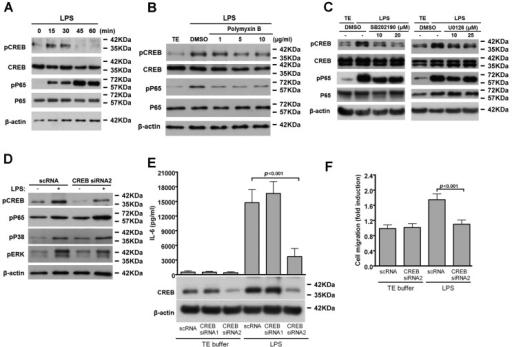CREB-mediated IL-6 production is involved in LPS-induced VSMC migration. (A) Serum-starved VSMCs were stimulated with LPS for the indicated times; (B,C) VSMCs were pretreated with different amounts of polymyxin B (B); SB202190 or U0126 (C) for 30 min and then stimulated with LPS for 30 min. Cell lysates were subjected to Western blotting with antibodies for CREB, phospho-CREB, NF-κB p65, phospho-NF-κB p65 (Ser536) or β-actin; (D–F) VSMCs were transfected with the indicated siRNAs for 24 h and then serum depleted for 24 h; (D) Cells were incubated with LPS for 30 min. Cell lysates were immunoblotted with antibodies for CREB, phospho-CREB, phospho-p38, phospho-ERK or β-actin; (E) Cells were stimulated with LPS for 24 h and IL-6 level in culture supernatants and CREB level in cell lysates were measured by ELISA and western blot, respectively; (F) Quiesced VSMCs were incubated with LPS for 24 h and migration assays performed as in Figure 2A. p < 0.001 vs. LPS + scRNA. The experiments in A–D were repeated three times with similar results. Data in E–F represent mean ± SD of three experiments. Statistical analyses were performed using the one-way ANOVA.