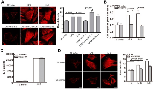 Role of Rac1-mediated F-actin formation in TLR4-induced VSMC migration. (A) VSMCs were subjected to different treatments (TE, LPS, IL-6, and in combination with anti-IL-6 or IL-12) for 24 h. Rhodamine-conjugated phalloidin staining was then performed to reveal actin stress fibers of VSMCs. The staining intensity was then quantified. p < 0.001 vs. LPS; p < 0.0001 vs. LPS + anti-IL6; (B,C) VSMCs were pretreated with Rac1 inhibitors NSC23766 (100 μM) for 30 min before stimulation with TE buffer, LPS or IL-6 for 24 h; (B) Migration assays were performed using transwell assays and PDGF-BB as a chemoattractant. p < 0.001 for TE buffer vs. NSC23766; (C) ELISA was performed to determine IL-6 levels in culture medium; (D) VSMC Phalloidin staining and quantitative analysis of staining intensity. p < 0.01 vs. LPS with TE buffer. Representative images of three independent experiments are shown in A and D. Scale bar, 5 μm. One-way ANOVA was used for statistical analyses in A–D.