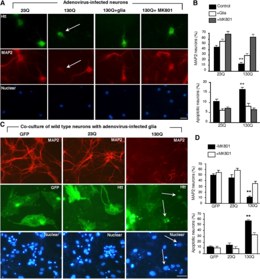 Htt-mediated neurotoxicity in glia–neuron coculture. (A) Cultured cortical neurons were infected with adenoviral htt-23Q or htt-130Q for 24 h. The infected neurons were then cultured with or without wild-type glial cells or MK801 (10 μM) and labeled by antibodies to htt (top), MAP2 (middle), and Hoechst (bottom). Htt-130Q–infected neurons show decreased MAP2-staining (arrows). (B) The percentage of MAP2-positive neurons and apoptotic neurons with nuclear DNA fragmentation in the presence or absence of wild-type glial cells or MK801. (C) Cultured glial cells (4–6 wk) infected with adenoviral htt-23Q or htt-130Q were cocultured with wild-type cortical neurons. EM48 immunofluorescence staining of glia–neuron coculture shows that htt-23Q is distributed in the cytoplasm whereas htt-130Q accumulates in the nuclei (arrows) of infected glial cells. The size of nuclei of cultured glial cells is often larger than that of cultured cortical neurons. There is a decrease in the number of MAP2-positive neurons in the coculture with htt-130Q–infected glial cells. Nuclei were stained with Hoechst (blue). (D) The percentage of MAP2-positive neurons and apoptotic cells in the presence of adenoviral infected glial cells. Neurons were treated with or without MK801 (10 μM). The data (mean ± SEM) were obtained by counting the number of degenerated cells and the total number of nuclei per image. **, P < 0.01 compared with neurons cocultured with glial cells. Bars, 10 μm.