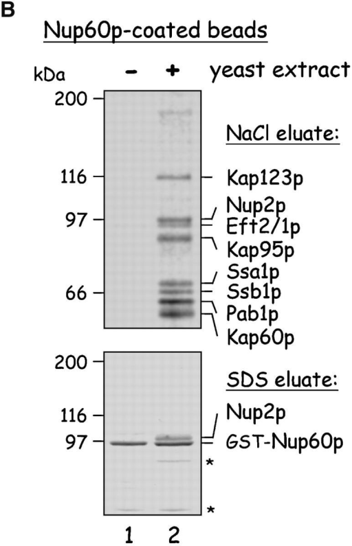 Yeast proteins that bind Nup60p and Kap95p. (A) Proteins in yeast extracts captured on Kap95p-coated Sepharose beads. GST-Kap95p (5 μg) was immobilized on glutathione-coated Sepharose beads (beads) and incubated with yeast extract (10 mg protein) or buffer as indicated. After washing beads, bound proteins were eluted with 250 mM MgCl2, collected by precipitation with trichloroacetic acid and deoxycholate, resolved by SDS-PAGE, and stained with Coomassie blue. Visible proteins were identified by mass spectrometry (see Materials and methods). Note that the three Nups captured by Kap95p are components of the nuclear basket structure of the yeast NPC. (B) Proteins in yeast extracts captured on Nup60p-coated beads. GST-Nup60p (1 μg) was immobilized on the beads and incubated with yeast extract (10 mg protein) or buffer as before. Bound proteins were eluted with 1 M NaCl (top) followed by SDS (bottom) and were identified as before. The asterisks mark a degradation product of GST–Nup60p. The identity of the ∼180-kD protein in the top panel could not be determined. Note that a portion of Nup2p remained tightly bound to Nup60p-coated beads even after incubation in 1 M NaCl.