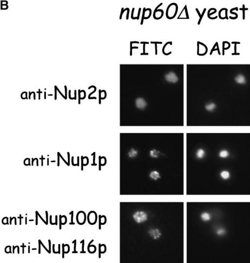 Nup2p is tethered to the NPC via Nup60p. (A) Direct visualization of Nup2p–GFP fusions in yeast. Various yeast strains that express NUP2-GFP from the NUP2 locus were grown in rich media at 30°C and were observed live under a fluorescence microscope. DAPI stain was used to visualize DNA in nuclei and pictures were taken using nuclei as the focal point. Note that in wild-type, nup170Δ, and nup100Δ yeast, Nup2p–GFP fusions accumulate in a punctate pattern at the nuclear periphery, but in nup60Δ yeast Nup2p–GFP is mislocalized to the nucleoplasm and cytoplasm. (B) Indirect immunofluorescence visualization of Nup2p, Nup1p, and Nup100p/Nup116p in nup60Δ yeast. nup60Δ yeast grown to early log phase in rich media at 30°C were fixed in 3.7% formaldehyde for 10 min and processed for immunofluorescence microscopy using affinity-purified anti-Nup antibodies and FITC-labeled secondary antibodies (left). DAPI was used to visualize nuclei (right). Note the mislocalization of Nup2p to the nucleoplasm in nup60Δ yeast in contrast to the normal punctate staining of Nup1p and Nup100p/Nup116p at the nuclear envelope.