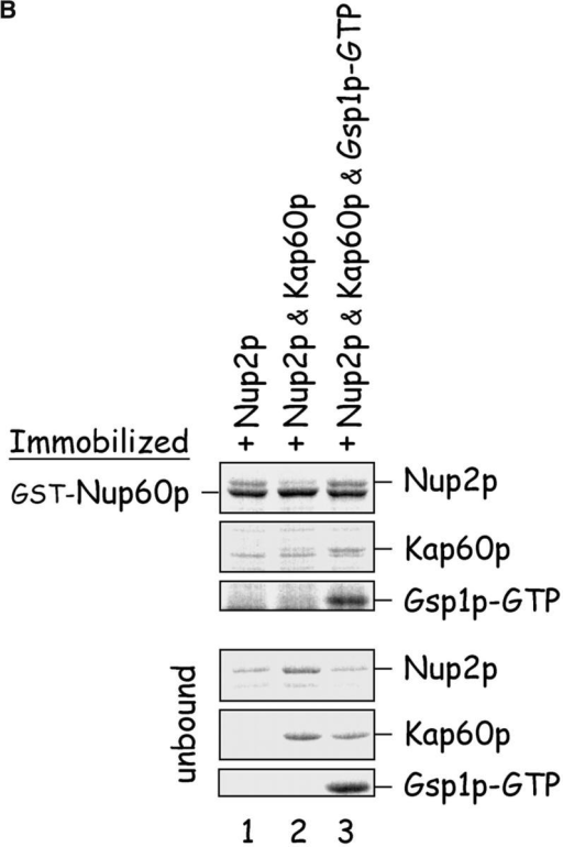 Gsp1p–GTP and Kap60p modulate the interaction between Nup60p and Nup2p. (A) The interaction between Nup2p and Nup60p, and the effect of Kap60p. GST–Nup60p (1 μg) was immobilized on beads and incubated with Nup2p (0.5 μg), Nup2pΔ (aa 1–50) (0.5 μg), or Kap60p (1 μg) as indicated. After 1 h at 4°C, unbound and bound proteins were collected, resolved by SDS-PAGE, and visualized with Coomassie blue. Note that Nup2p binds Nup60p, that Kap60p prevents the interaction, and that the NH2 terminus of Nup2p is not required for binding Nup60p. (B) Effect of Gsp1p–GTP on the interaction between Nup2p and Nup60p. GST–Nup60p (1 μg) was immobilized on beads and incubated with Nup2p (0.5 μg), Kap60p (1 μg), or Gsp1p–GTP (His-Gsp1p Q71L) (1 μg) as before. Note that Kap60p interferes with the interaction of Nup2p with Nup60p, but that the presence of Gsp1p–GTP restores binding and promotes formation of Nup60p–Gsp1p–Nup2p–Kap60p complexes. (C) Gsp1p–GTP enhances binding of Nup2p to Nup60p in yeast extracts. GST-Nup60p (1 μg) was immobilized on beads and was incubated with yeast extract (∼1 mg) supplemented with 1.25 μM recombinant Gsp1p–GTP (Q71L), 0.5 μM recombinant Kap60p, or no additional protein. The amount of Nup2p bound to Nup60p-coated beads was determined by quantitative Western blotting as described in Materials and methods. The amount of Nup2p was expressed as the ratio of Nup2p bound per unit of immobilized GST–Nup60p, using the incubation of extract without additions as baseline. Shown are the mean ratios for two samples with error bars representing the SEM; this experiment was performed three times with similar results. The asterisks (***) indicate a P < 0.05 for comparison of mean Nup2p captured from extracts supplemented or not with additional Gsp1p–GTP (unpaired, two-tailed t test). Note that addition of Gsp1p–GTP to yeast extract increases by ∼65% the amount of Nup2p bound to Nup60p-coated beads. (D) Gsp1p–GTP increases the affinity between Nup60p and Nup2p. Nup60p-coated beads were incubated with various concentrations of radiolabeled Nup2p for 2 h at 25°C in binding buffer with 10 mg/ml BSA and protease inhibitors. The concentration of GST–Nup60p within the beads was 25 nM and 150 nM for experiments with or without Gsp1p–GTP, respectively. The dissociation constant (KD) of the Nup60p–Nup2p complex in the presence and absence of 3 μM Gsp1p–GTP Q71L was calculated as described in Materials and methods. To facilitate comparison, the results were plotted as a fraction of maximal Nup2p bound versus Nup2p concentration. Each data point was performed in duplicate and error bars represent SEM. Note the 10-fold higher affinity between Nup60p and Nup2p in the presence of Gsp1p–GTP.