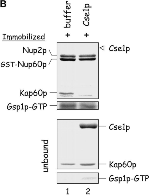 Nup60p plays a role in the nuclear export of Kap60p. (A) The location of Kap60p in wild-type and nup60Δ yeast was detected by indirect immunofluorescence using affinity-purified anti-Kap60p antibodies. Yeast grown to early log phase at 30°C in rich media were fixed in 3.7% formaldehyde for 1 h and processed for immunofluorescence microscopy (left). Note the moderate accumulation of Kap60p in nuclei of nup60Δ yeast compared with wild-type. (B) Cse1p accepts Kap60p and Gsp1p–GTP from a donor Nup2p–Gsp1p–GTP–Nup2p–Kap60p complex in vitro. GST–Nup60p (1 μg) was immobilized on beads and incubated with Nup2p (2 μg), Gsp1p–GTP (Q71L) (2 μg), and Kap60p (2 μg) for 1 h at 4°C to form the Nup2p–Gsp1p–GTP–Nup2p–Kap60p complex. After washing the beads to remove unbound proteins, the quaternary complex was mixed with buffer of Cse1p (1 μg). After 1 h at 4°C, unbound and bound proteins were collected, resolved by SDS-PAGE, and stained with Coomassie blue. Note that when Cse1p is present, all of the Kap60p and some Gsp1p are lost from the immobilized Nup60p. Also note that Cse1p does not bind to Nup60p–Nup2p complexes.