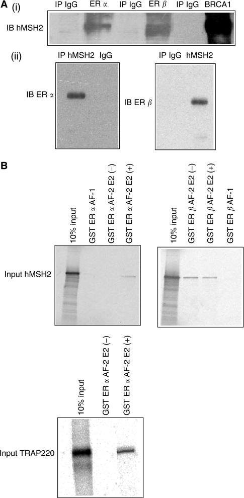 In vivo association between hMSH2 and ER α/β and in vitro association between hMSH2 and ER α/β. (A) (i) Ishikawa cells were lysed and subjected to immunoprecipitation (IP) with the antbodies to ER α and IgG. MDA-MB-231 cell lysate was immunoprecipitated with the antbodies to ERβ BRCA1 and IgG. The immunoprecipitates were separated by SDS–PAGE and analysed by immunoblotting (IB) with the anti-hMSH2 antibody. (ii) Reciprocal IP was performed to detect endogenous hMSH2-ER α and hMSH2-ER β interactions by IB. (B) In vitro translated 35S-labelled hMSH2 was pulled down by GST-ER α/β AF-1 or GST-ER α/β AF-2. At the same time, in vitro translated TRAP220 was incubated with GST-ER α AF-2. The mixtures were washed and subjected to SDS–PAGE and analysed.