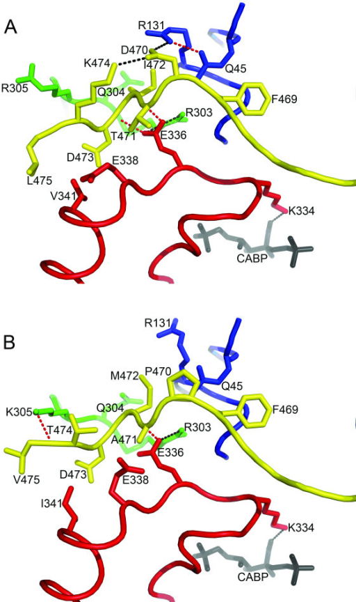 Comparison of structural interactions at the carboxy-terminal/loop-6 interface in the large subunit of Rubisco from (A) Chlamydomonas (1GK8) [9] and (B) spinach (8RUC) [10]. Residues within 4 Å of the divergent carboxy-terminal residues 470, 471, 472, and 474 are shown as sticks. The carboxy terminus (yellow), loop 6 (red), and part of a loop in the amino-terminal domain of a neighboring large subunit (blue) are drawn as ribbons. Residues not in these three structural regions are colored green. The location of the active site is denoted by Lys-334 and the transition-state analog CABP. Potential hydrogen and ionic bonds are indicated by red and black dotted lines, respectively, connecting the participating atoms.