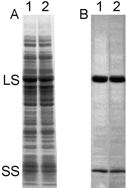 Protein expression and holoenzyme levels are unaltered in the D470P/T471A/I472M/K474T quadruple mutant. (A) SDS-polyacrylamide gel electrophoresis and (B) western-blot analysis of total soluble proteins (60 μg/lane) extracted from Chlamydomonas wild type (lane 1) and the D470P/T471A/I472M/K474T quadruple mutant (lane 2). The Rubisco large subunit (LS) and small subunit (SS) are indicated.