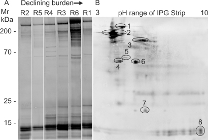 Antibodies recognize proteins exposed on the adult worm tegument.Western blots of separated TSP, probed with individual rhesus sera. A) 1DE separation showing that the complexity of serum reactivity is inversely proportional to final worm burden. B) 2DE separation probed with serum from the most reactive animal (R6). Targets identified by matching the 2D blot to an identical gel are 1. α2 macroglobulin, 2. Sm200, 3. unknown function, 4. unknown function, 5. HSP70, 6. Alkaline phosphatase, 7. Sm22.6, 8. LMWP.