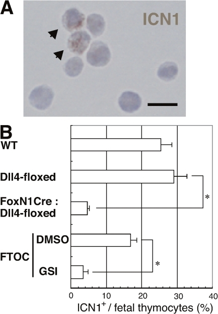 Notch signaling was decreased in the thymus with Dll4- epithelial cells. (A) The cleaved Notch1 fragment was found in fetal thymocytes of E15.5 Dll4lox/lox (Dll4-floxed) embryos. The cells with cleaved Notch1 are indicated with arrowheads. Bar, 10 μm. (B) Frequencies of cells with cleaved Notch1 (ICN1+; mean percentage from five fields in a slide with >100 cells from each embryo ± SD) were counted in E15.5 WT (n = 3), Dll4lox/loxFoxN1Cre (FoxN1Cre:Dll4-floxed, n = 6), or Dll4lox/lox (Dll4-floxed, n = 6) mice. The cultured DN cells were prepared after the FTOC of E14.5 WT fetal thymus for 4 d with γ-secretase inhibitor (GSI, n = 3) or without γ-secretase inhibitor (DMSO, n = 3). Asterisk indicates unpaired Student's t test; P < 0.001.