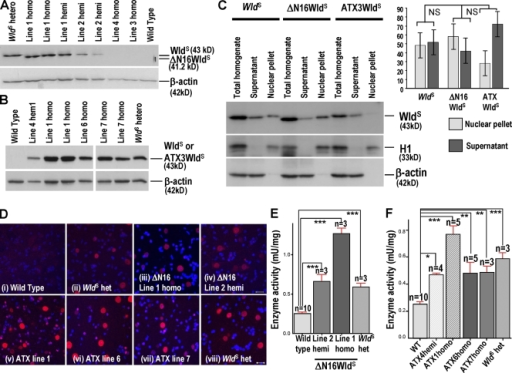 Overexpression of ΔN16WldS and ATX3WldS in Tg mice. (A and B) Western blots of ΔN16WldS and ATX3WldS brains probed with Wld18. ΔN16WldS lines 1 and 2 alone express a protein slightly smaller than WldS. The 43-kD ATX3WldS band matches that in WldS. (C) Brain Western blots of total homogenate and nuclear and cytoplasmic fractions of WldS, ΔN16WldS (line 1), and ATX3WldS (line 6). The graph shows integrated band intensities of nuclear and cytoplasmic fractions normalized to H1 and β-actin, respectively. These normalized figures were then expressed as a percentage of the total homogenate signal and normalized to the same respective markers (mean ± SD; n = 3). Statistical analysis was performed on the nuclear versus supernatant ratio using a Mann-Whitney test followed by a Bonferroni post-hoc test. (D) Immunofluorescence of lumbar spinal cord sections with Wld18 (red) and DAPI. Motor and interneuron nuclear signals in Tg ΔN16WldS (i–iv) and ATX3WldS (v–viii) show similar strength and distribution as WldS heterozygotes. Identical laser intensities and camera settings were used for each image. (E and F) Transgene products are enzymatically active. Nmnat activity is very significantly increased compared with wild-type (WT) brains in hemizygotes and homozygotes of all expressing Tg lines as well as WldS heterozygotes. Mean ± SD; *, P < 0.05; **, P < 0.01; ***, P < 0.001. Bars, 10 µm.