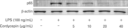 Effect of cordycepin on NF-κB activation. Levels of NF-κB protein in RAW 264.7 cells. Cells were incubated with various concentrations of cordycepin in the presence of LPS (100 ng/ml) overnight. Protein from each sample was resolved in 12% SDS-PAGE and then analyzed by Western blotting. β-actin was used in as a control.