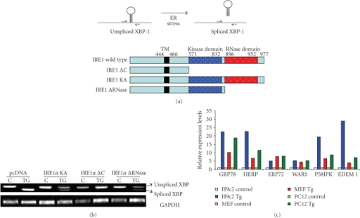 Detection of transcript levels of UPR target genes by RT-PCR. (a) Upper panel, cartoon of XBP1 splicing during ER stress. Lower panel, schematic representation of various mutant constructs of IRE1. (b) Modulation of XBP1 splicing by mutant IRE1. Total RNA was isolated from HEK 293 cells that were transfected with IRE1 mutants, either untreated or treated with thapsigargin (0.5 μM) 6 hours, and RT-PCR analysis of total RNA was performed to simultaneously detect both spliced and unspliced XBP1 mRNA and GADPH. (c) Induction of UPR target genes upon exposure to thapsigargin. Total RNA was isolated from indicated cells after treatment thapsigargin (Tg), and the expression levels of the indicated genes were determined by real-time RT-PCR, normalizing against GAPDH expression.