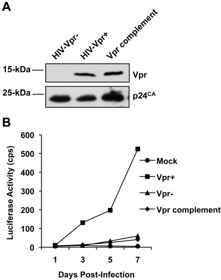 Vpr Complementation Does Not Affect Defective Single Cycle HIV 1 Infection Of