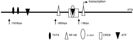 Major transcription factor binding sites in 1500 bps upstream from transcription start site of IL-32 gene promoter. NF-kappa B binding sites at nucleotide -9 to +5 and -361 to -352, CREB binding site at nucleotide -34 to -19, c-Jun/CREB binding site is at nucleotide -30 to -23, ATF-2 binding sites at nucleotide -33 to -20 and, -769 to -759, and TATA boxes at nucleotide -1215 to -1206 and -1502 to -1497 relative to the transcription start site at +1. These binding sites were cited by using sequence searching software TFSEARCH(TM)