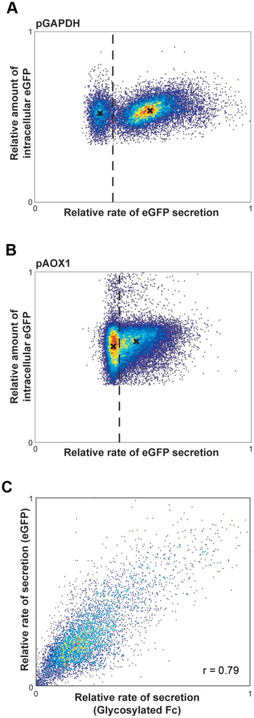 Characterization of relationships between intracellular and secreted proteins for single cells of P. pastoris.Density plots of the relative rates of eGFP secretion by single cells analyzed by microengraving with respect to the relative amount of intracellular eGFP determined by fluorescence microscopy for clones containing (A) one eGFP gene copy under pGAPDH or (B) two eGFP gene copies under pAOX1. Dashed line indicates the limit of detection for secreted eGFP in microengraving (background+2σ). The median amounts of internal eGFP for cells above and below this limit of detection are marked (X) and are significantly different (Mann-Whitney test, p≪0.001 for both pGAPDH and pAOX strains). (C) Density plot of the relative rates of secretion analyzed by microengraving for the glycosylated Fc fragment and eGFP produced simultaneously in single cells at two different loci using pGAPDH. Pearson's correlation coefficient for secretion of these two proteins as shown is 0.79.