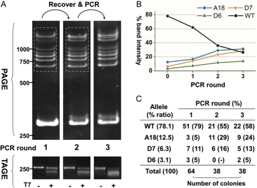 PAGE detection, enrichment and quantification of multiple alleles. (A) PAGE and TAGE profiles of multiple alleles after successive rounds of PCR following gel recovery (dash frame). DNA mixture containing four alleles shown in lane 12 of Fig. 2B was used as template with mix ratios indicated in (C). (B) Relative intensity of different bands of each round. Round '0' represent the initial percentages of each allele. (C) The number of clones and percentages of each allele from PCR products of each round. This figure appears in colour in the online version of DNA Research.