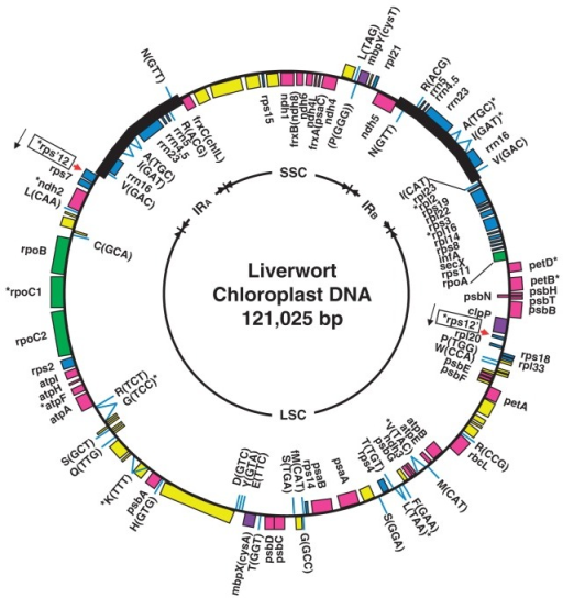 Revised genetic map of the chloroplast genome of the li open i revised genetic map of the chloroplast genome of the liverwort marchantia polymorpha ira irb ccuart Gallery